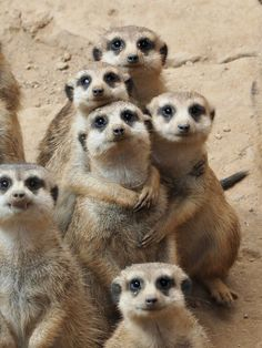 Meerkat family photo. Say cheeeeessss!!! I just love these little guys! Notice the two with their arms on the third one. Just like people getting their picture taken!