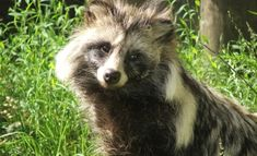 The Raccoon Dog (also known as the Tanuki) is named for its resemblance to the raccoon , although they are not related. Living mainly in forest and dense vegetation bordering lakes and streams, these cuddly raccoon dogs are indigenous to East Asia.