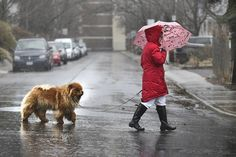 Another Rainy Day ALINE is on call for your leaky roof repairs in Toronto today.  Call 647-241-1647   #StarWeather #TOWeather #BareNakedRoofers #ALINETO #BNRTO Don't leave home without an umbrella today. Toronto is about to get a drenching, much like this Chow Chow walking along Pape Ave. Wednesday.