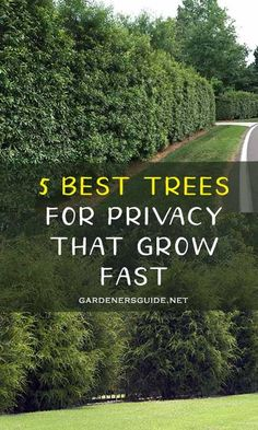 Gardens Discover 5 Best Trees For Privacy That Grow Fast - Gardeners& Guide Best Trees For Privacy Shrubs For Privacy Privacy Landscaping Landscaping Trees Backyard Privacy Landscaping Around Pool Backyard Trees Outdoor Trees Backyard Plants Backyard Trees, Landscaping Trees, Privacy Landscaping, Front Yard Landscaping, Front Yard Hedges, Arborvitae Landscaping, Fence Trees, Landscaping Edging, Outdoor Trees