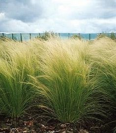 Ornamental Grass Seed - Stipa Tenuissima Pony Tails Seeds Ornamental Grass - Stipa Tenuissima Pony T Landscaping Plants, Garden Plants, Outdoor Plants, Outdoor Gardens, Beautiful Landscapes, Beautiful Gardens, Sta Barbara, Landscape Design, Garden Design