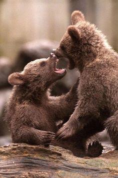 Syrian brown bear cubs