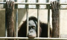 "America, stop visiting roadside zoos – they make money from the inhumane treatment of animals | The Guardian | by Jennifer Jacquet | ""At roadside zoos, some animals live their entire lives behind bars, in cages made of concrete. Roadside zoos generally provide less enrichment for the animals and less education for their public."" Click to read and share the full article."