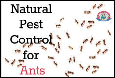 Get rid of ants without chemicals #non-toxic, #natural #pest control