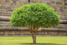 How To Turn A Shrub Into A Small Tree – Trimming Large Bushes Into Small Trees