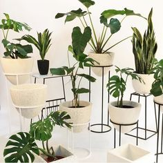 Plants invasion with these gorgeous planters by @linoluna_id  check out their account for order. Banyak yang sering tanya egg planter beli di mana -- ini nihh yang jual  . . Plants: Philodendron Monstera Deliciosa Philodendron Marble and Sansevieria  all available for adoption from @shopwithskykatalog via tokopedia / wa (link and number in bio) . . #tanamanbikinhepi #monsterajakarta #philodendron #philomarbel #planters #standingplanters #houseplantclub #houseplants #plantsofinstagram…