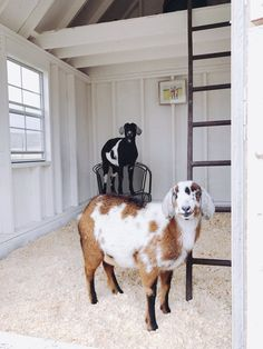 One of the many questions I receive about raising goats and keeping goats as pets is: How do you keep the goat barn clean? Keeping Goats, Raising Goats, Goat Shed, Goat House, Farm House, Goat Shelter, Farm Lifestyle, Goat Barn, Cute Goats