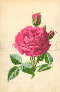 Rose. Illustration for Familiar Garden Flowers (Cassell, c 1890).