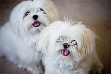 Maltese - meant to be cuddly companion dogs. Funny little fuzzballs.