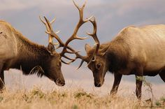 5 Intriguing Behaviors of Rutting Elk (Videos) -- A major part of bull elk behavior during the fall rut is fighting. As hormones rage, bulls engage in battles for dominance, and the ladies.