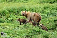 Salonie Sow and Cubs #2. A Kodiak brown bear sow leads her playful triplet cubs though the tall grass to go fishing. Photography by Joseph Classen