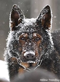 Show me your SABLES!!! - Page 10 - German Shepherd Dog Forums. Vaks