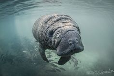 Manatee calf Photo by Ellen Cuylaerts — National Geographic Your Shot
