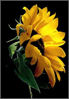 cloudy day/ sunflowers still track/ the sun (haiku by susan) #flowers