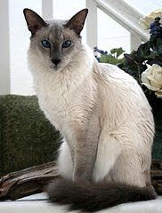 140 Best Cat Breeds Images Cats Kitty Cats Siamese Cat