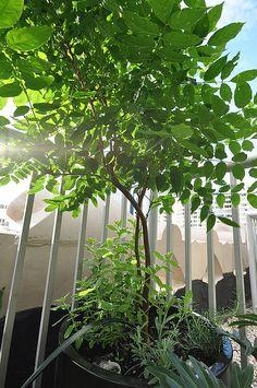 wisteria tree on balcony garden, via Flickr.