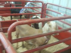 PT JULY 2014 CANYON COUNTY FAIR. OUT OF FOCUS GOAT.