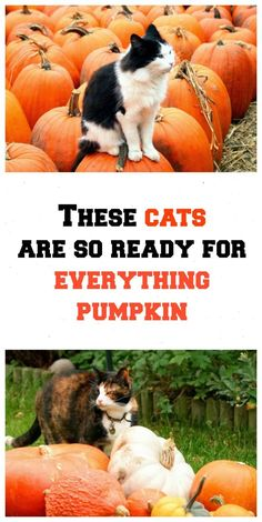 These cats are so ready for everything pumpkin! Pictures at http://www.traveling-cats.com/2013/10/cats-from-warwick-england.html (pumpkin farm, pumpkins, cats, photo ideas, photography ideas, picture ideas, image ideas, everything pumpkin)
