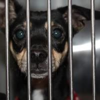 Palm Springs, California - Chihuahua. Meet Boni, a for adoption. https://www.adoptapet.com/pet/20344798-palm-springs-california-chihuahua-mix