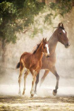 Marwari horse and foal, India   by C Slawik