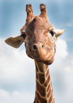 A young giraffe by Mr Moss