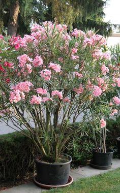 Wie die meisten Kübelpflanzen aus dem Mittelmeerraum verträgt auch der Oleander leichten Frost. Fallen die Temperaturen allerdings zu weit unter die Null-Grad-Marke, sollten Sie die Pflanze im Haus überwintern. Wir erklären Ihnen, wie Sie Ihren Oleander gut durch den Winter bekommen.
