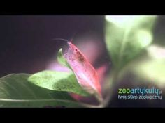 Krewetka red cherry - YouTube