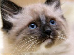 Cat , 7 Nice Siamese Cats Pictures : Beautiful Siamese Cat