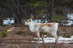 A caribou in spring along Hwy 37 near Dease Lake, BC British Columbia, Northern Lights, Spring, Places, Animals, Animais, Animales, Animaux, Animal