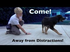 The best way to teach Come when called with DISTRACTIONS!