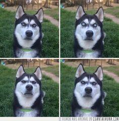 Los Huskies son los perros más expresivos con diferencia