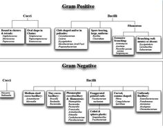 gram negative gram positive bacteria list - Google Search