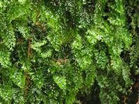 Hymenophyllum tunbrigense (englischer Hautfarn) Klasse: echte Farne Ordnung: Hymenophyllales (Hautfarngewächse)