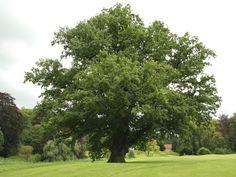 Rüya Tabirleri   Rüyada Meşe Ağacı Görmek