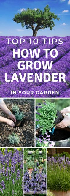 Top 10 Tips How To Grow Lavender - Top Inspired How to grow Lavender!<br> It is relatively easy to grow lavender regardless of how experienced you are. This fragrant flower can beautify every home surroundings and bring amazing Container Gardening, Planting Lavender Outdoors, Plants, Planting Flowers, Fragrant Flowers, Plant Care, Growing Lavender, Lavender Farm, Lavender Plant Care