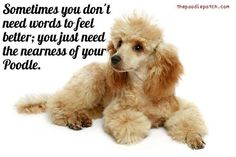 SOMETIMES YOU DONT NEED WORDS TO FEEL BETTER; YOU JUST NEED THE NEARNESS OF YOUR POODLE