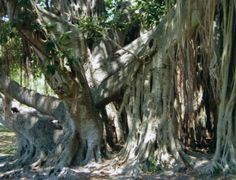 Banyan tree St.Petersburg fl