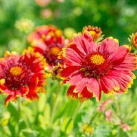 perennials for full sun gardens