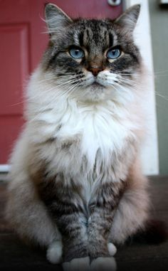 loveablecats:  Beautiful Maine Coon