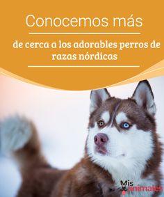 Conocemos más de cerca a los perros de razas nórdicas Es muy frecuente encontrarse con perros de razas nórdicas abandonados en las cunetas. Las causas son una falta de información por parte de los dueños. #razas #abandonados #curiosidades #dueños