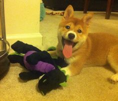 My Shiba Inu loves her dragon toy. Even an entire year later she has not not been able to tear it apart.