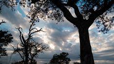 A tilt up timelapse of a silhouette Marula tree at sunrise while clouds are moving across a bushveld landscape. Kruger National Park, Tilt, Stock Footage, Sunrise, Africa, Trees, Clouds, Silhouette