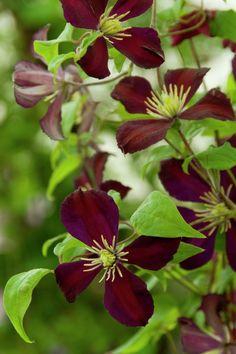 Clematis 'Mikelite' • Plants & Flowers • 99Roots.com