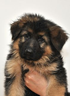German Shepherd Puppy...