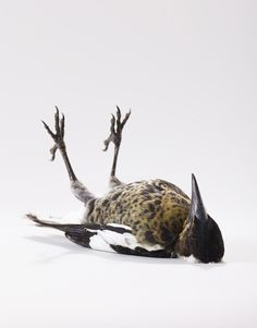 Portraits of Birds Ruffling with Personality by Leila Jeffreys (the bird is playing dead)