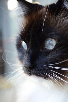 Himalayan cat...beautiful!