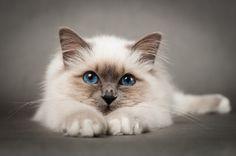 Sacred birman cat by Anna Derleta,