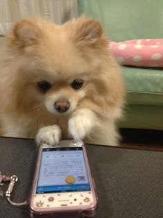This #pomeranian is working feverishly trying to cancel it's vet appointment.