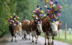 La désalpe is an alpine celebration where you can discover Swiss traditions. Herds of cows, Alpine horns, crafts and cheese are all to be found in Charmey. Cow Parade, Farm Animals, Cute Animals, Swiss Switzerland, Pentecost, Purple Love, Farm Yard, World Best Photos, Sheep
