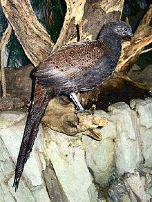 Mountain Peacock-Pheasant - Wikipedia, the free encyclopedia